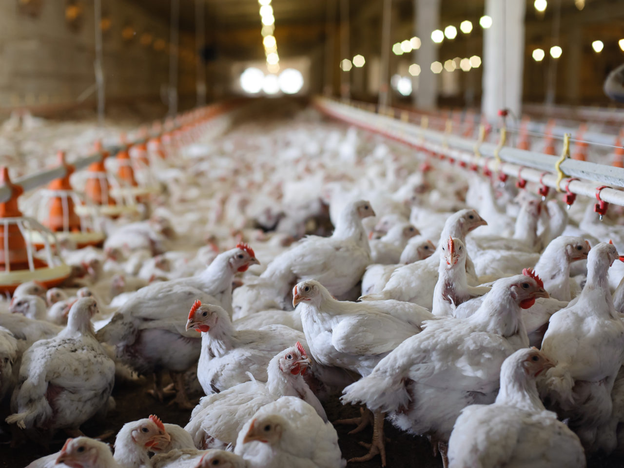 An image of factory farmed chickens