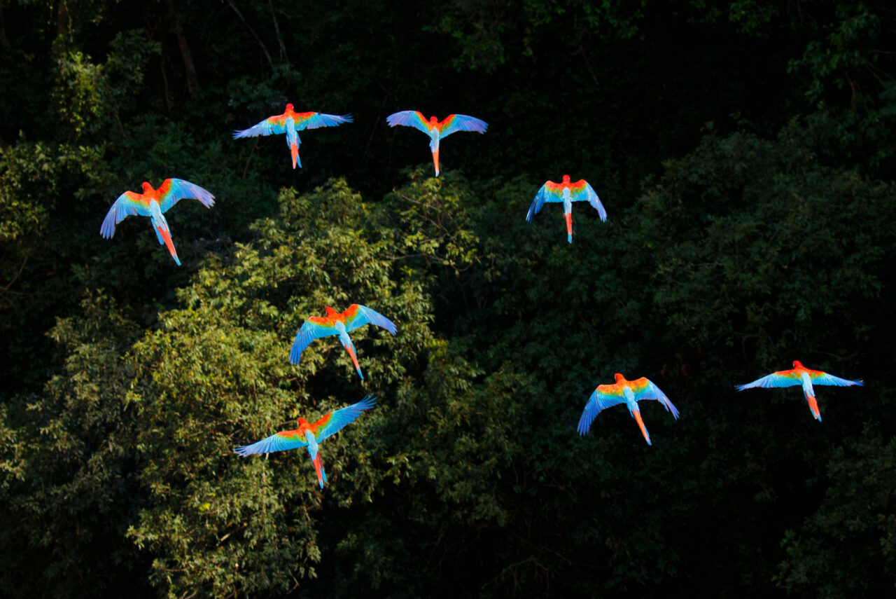 A flock of parrots in flight over the canopy of a rainforest