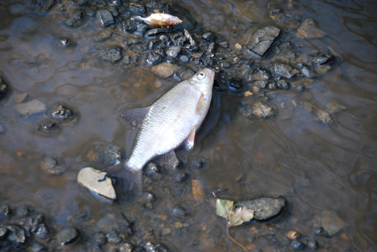 A picture of a dead fish in polluted water