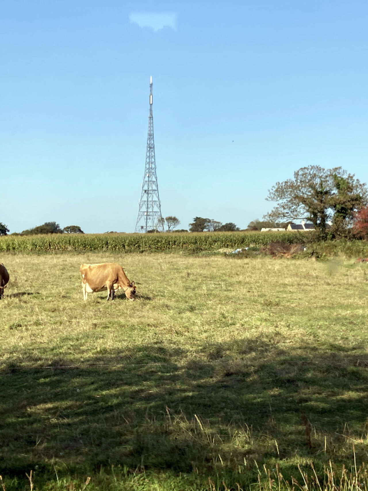 A jersey cow grazing in front of a telephone mast