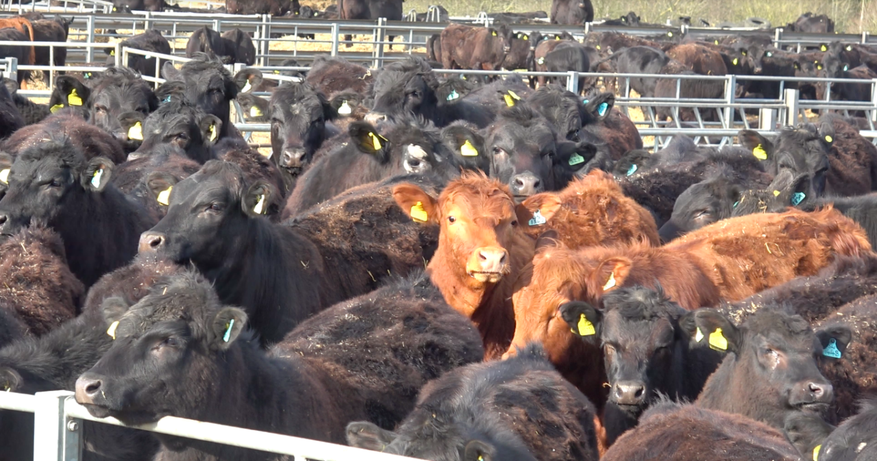Revealed: industrial-scale beef farming comes to the UK — The Bureau