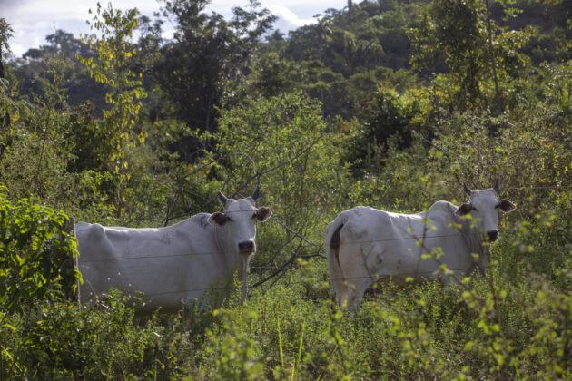 Bovinos foram vistos pastando em terras embargadas no rancho